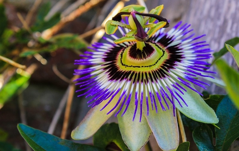Passionflower - Natural Remedies for Anxiety and Nerves